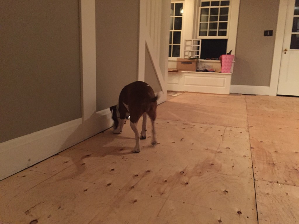 Scarlet is checking out the new plywood subfloor